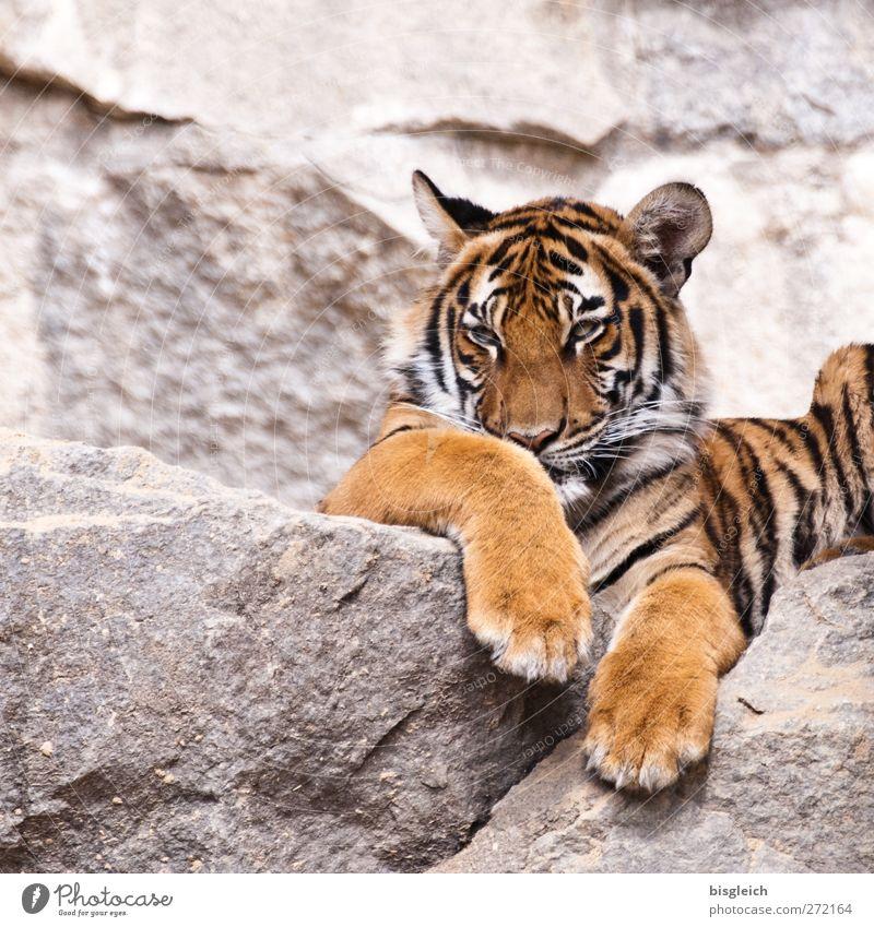 Tiger II Zoo Tier Wildtier 1 beobachten liegen wild gelb gold grau schwarz achtsam Wachsamkeit geduldig ruhig Farbfoto Außenaufnahme Menschenleer
