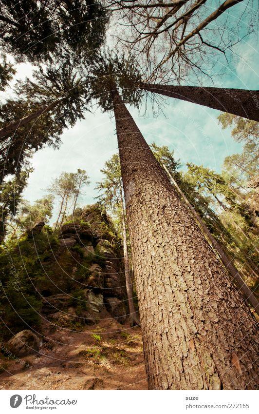 Teufelsschlucht gen Himmel Natur Baum Pflanze Wald Umwelt Landschaft braun Felsen Klima wild authentisch Schönes Wetter Baumstamm Baumkrone Sachsen