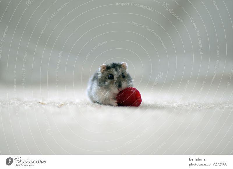 Karli | riesiges Dessert Tier Haustier Tiergesicht Fell Pfote 1 Fressen sitzen hell kuschlig klein lecker nah niedlich grau rot weiß Hamster Himbeeren Frucht