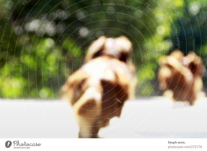 Die Wächter des Gartens Hund grün Tier Leben Bewegung Garten braun laufen Sträucher niedlich Schönes Wetter Neugier rennen Jagd entdecken Mut
