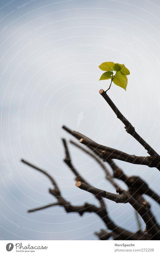 Neuanfang Natur grün Baum Pflanze Blatt Frühling Wachstum neu Hoffnung Ausdauer Optimismus Tatkraft Grünpflanze Zweige u. Äste grünen