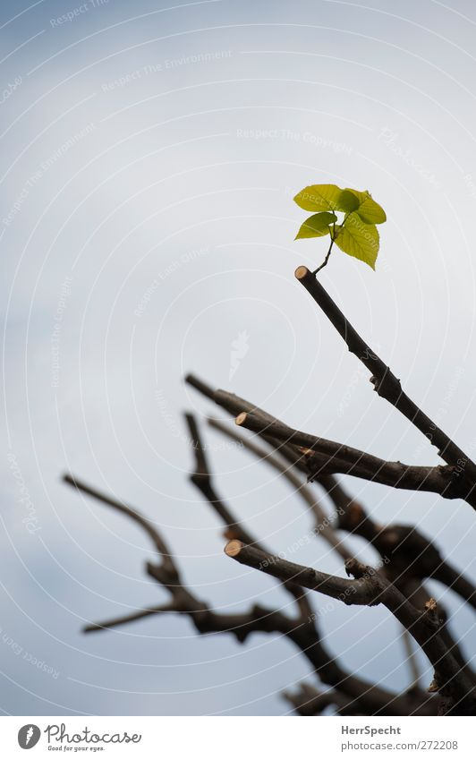 Neuanfang Natur Pflanze Frühling Baum Blatt Grünpflanze Wachstum neu Frühlingsgefühle Optimismus Tatkraft Hoffnung austreiben sprießen Zweige u. Äste