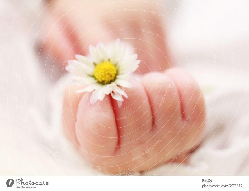 Babyhand mit Gänseblümchen Mensch Kind Hand Mädchen Blume Liebe Glück Haut Zufriedenheit Finger Warmherzigkeit weich Lebensfreude zart Vertrauen