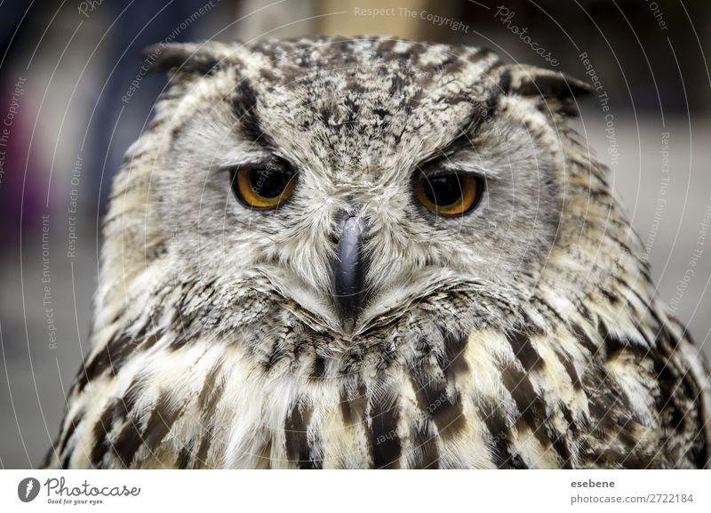 Königskauz schön Gesicht Natur Tier Vogel beobachten authentisch niedlich wild braun gelb grau schwarz weiß Weisheit Waldohreule Königlich Tierwelt Schnabel