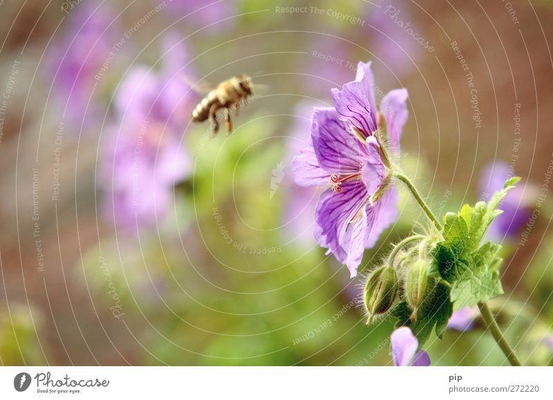 pollen(an)flug Natur Sommer Pflanze Blume Tier Blatt Blüte Arbeit & Erwerbstätigkeit fliegen Schönes Wetter violett Biene Insekt Sammlung kommen Pollen