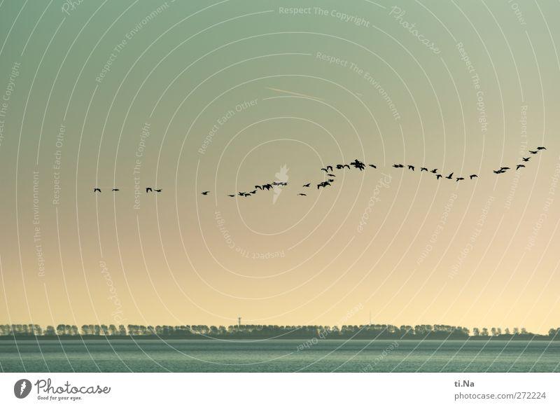 Nils Holgerson Natur Landschaft Wasser Himmel Sommer Herbst Schönes Wetter Baum Küste Nordsee Wildtier Vogel Flügel Gans Schwarm fliegen elegant natürlich schön