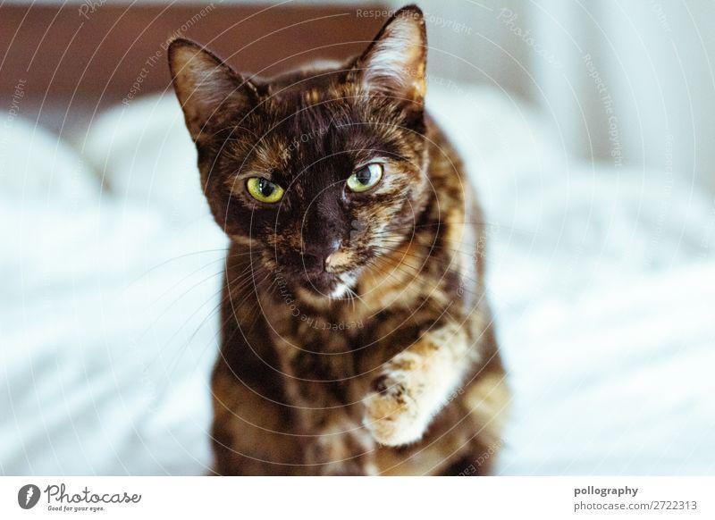 kitty Haustier Katze 1 Tier Blick ästhetisch authentisch elegant frech schön weich Farbfoto Gedeckte Farben Innenaufnahme Nahaufnahme Menschenleer Tag