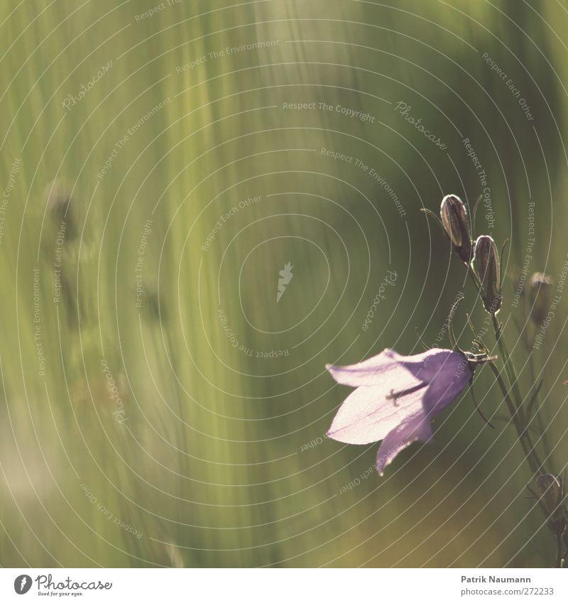 Campanula Umwelt Natur Pflanze Tier Sonnenlicht Sommer Schönes Wetter Blume Blüte Wildpflanze Glockenblume Wiese Blühend Duft Wachstum frisch glänzend grün