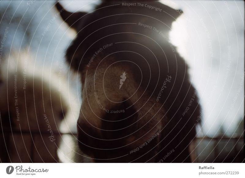 gegenlicht Himmel Tier Wildtier Esel 1 berühren Bewegung Blick Zaun Nase Nüstern Fell braun Farbfoto Außenaufnahme Menschenleer Tag Licht Silhouette