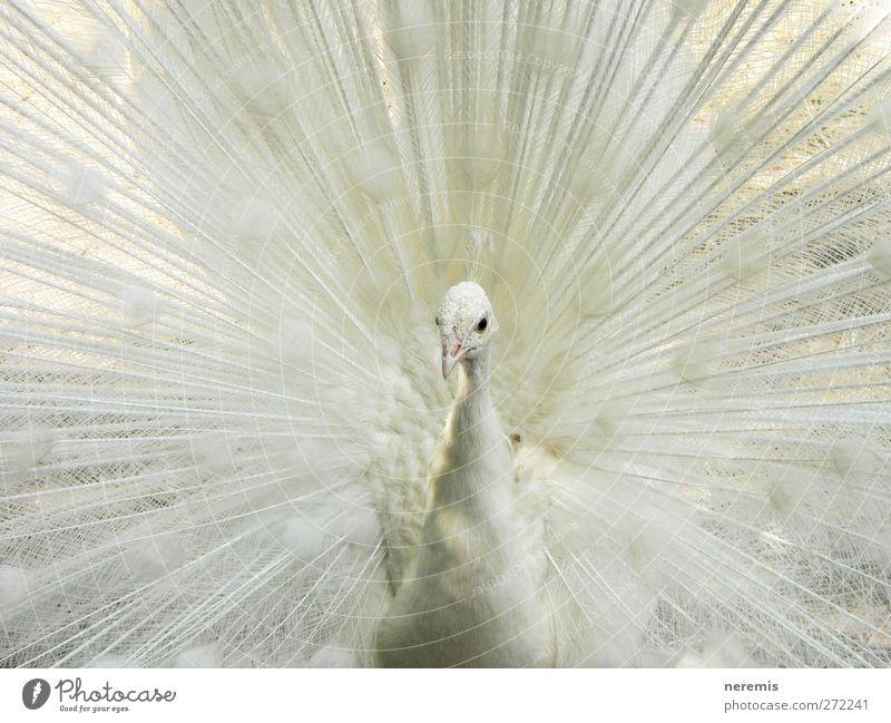 Weißer Pfau weiß schön Tier Liebe hell Vogel Kraft Wildtier außergewöhnlich natürlich wild elegant ästhetisch Flügel beobachten Romantik