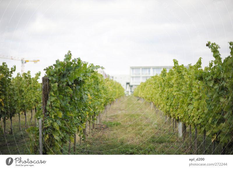 Weinberg Himmel Natur Ferien & Urlaub & Reisen Pflanze grün Sommer weiß Haus Umwelt Garten Freizeit & Hobby wandern ästhetisch Erfolg stehen Wein