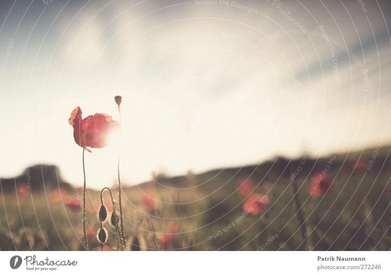 Mohnscheinsonate Himmel Natur grün schön Baum rot Pflanze Sonne Sommer Tier Wolken Umwelt Landschaft Gefühle Gras Freiheit