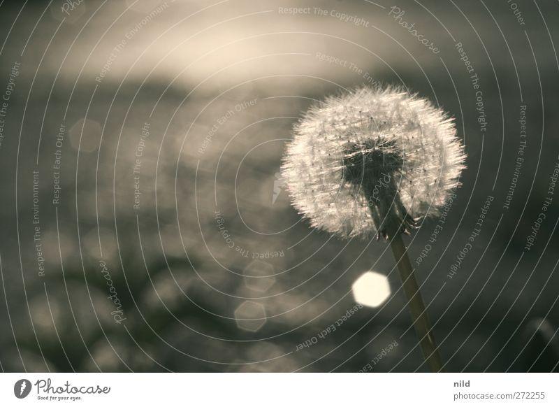 mauerblümchen – gegenlicht Umwelt Natur Pflanze Schönes Wetter Löwenzahn Park frei nah gold grau schwarz silber einzigartig elegant ruhig Vergänglichkeit