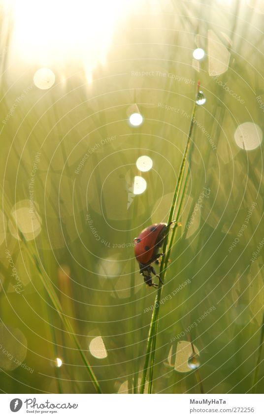 Marienkäfer Natur Pflanze Tier Wasser Wassertropfen Sonne Sonnenaufgang Sonnenuntergang Sonnenlicht Frühling Klima Schönes Wetter Regen Gras Garten