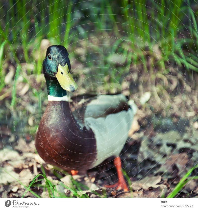 Nag-Nag Natur Tier Blatt Umwelt Gras Vogel Wetter Erde Wildtier stehen Schönes Wetter Urelemente Neugier Ente tierisch herbstlich
