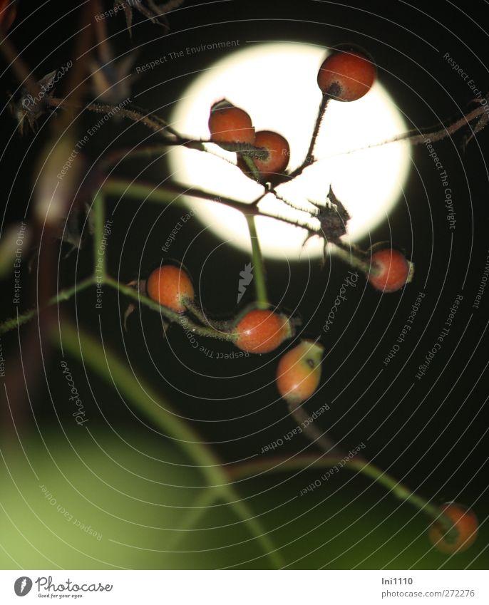 Vollmond im Gegenlicht hinter Hagebuttenzweig Natur Pflanze Nachthimmel Mond Herbst Blume Rose träumen rund braun grün rot Romantik schön Vorsicht Sehnsucht