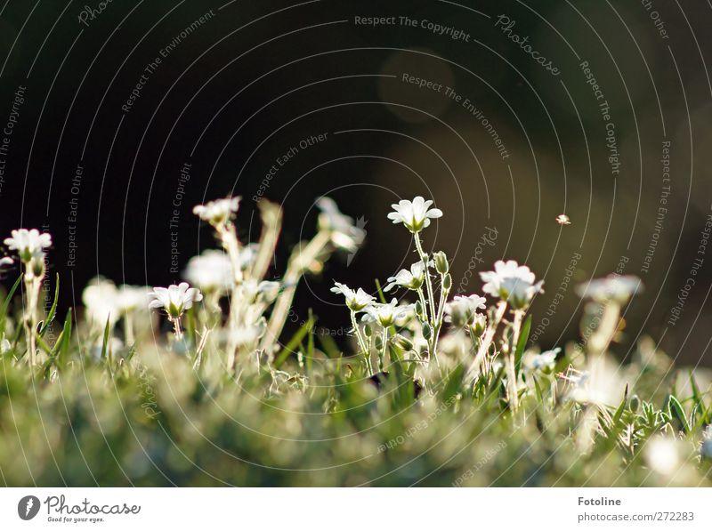 Guckt: da fliegt was ;-) Umwelt Natur Pflanze Frühling Schönes Wetter Blume Blüte Wildpflanze Garten Park Wiese hell natürlich Wärme weiß Farbfoto