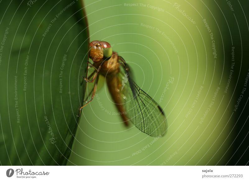 )\ ) Natur Tier Blatt Wildtier Insekt Libelle 1 festhalten warten ästhetisch grün harmonisch Farbfoto Außenaufnahme Nahaufnahme Makroaufnahme Menschenleer