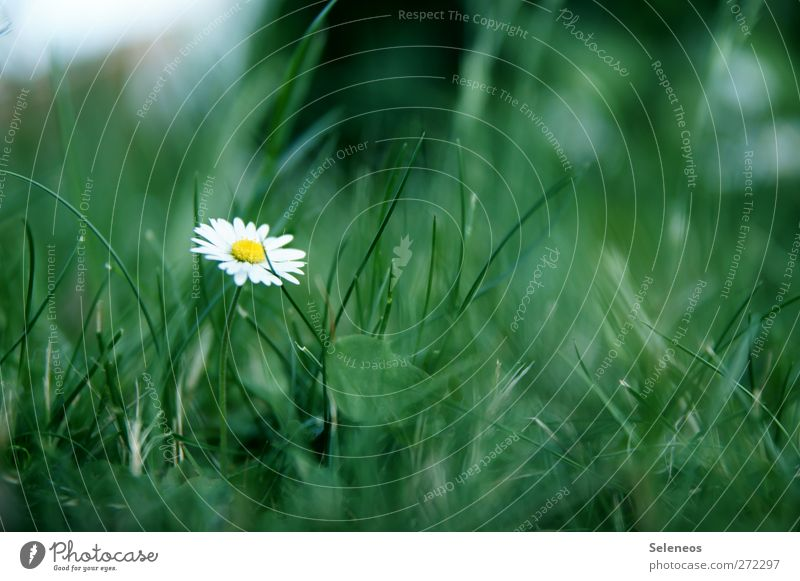 Urwaldpflanze Ausflug Sommer Sonne Umwelt Natur Frühling Pflanze Blume Gras Blüte Gänseblümchen Garten Park Wiese klein nah Farbfoto Außenaufnahme Nahaufnahme