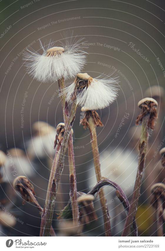 abstrakte Löwenzahnblütenpflanze Blume Pflanze Samen geblümt Garten Natur Dekoration & Verzierung Konsistenz weich Außenaufnahme Hintergrund romantisch