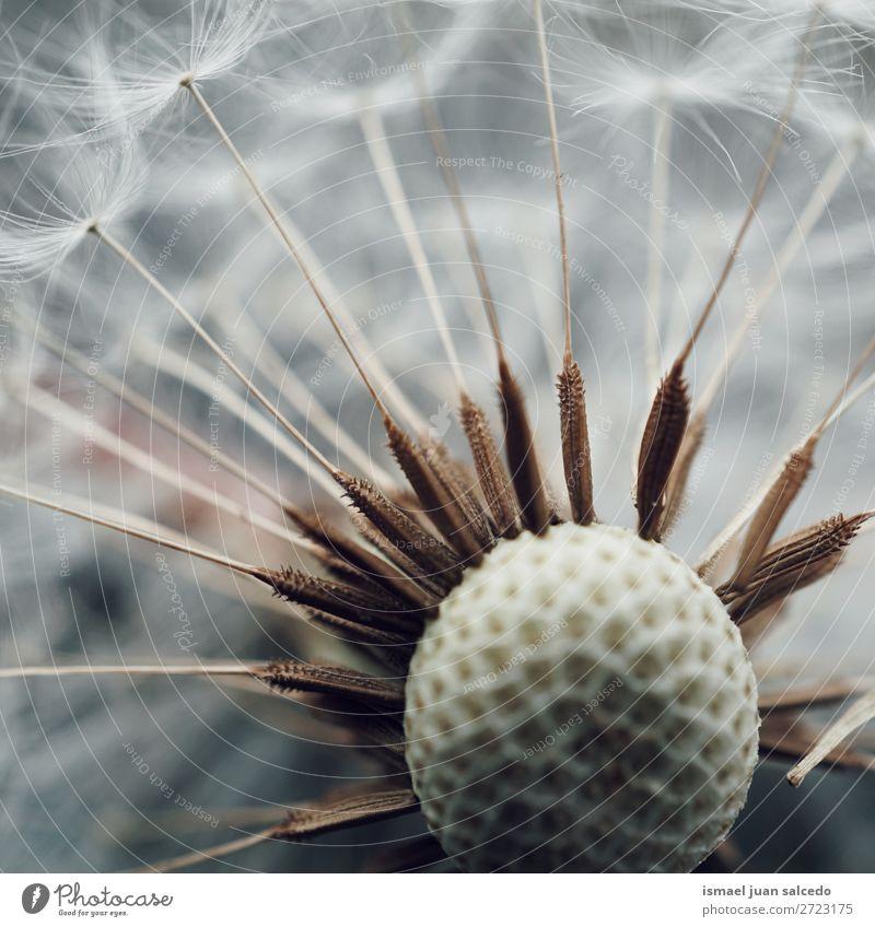 Löwenzahnblume Blume Pflanze Samen geblümt Garten Natur Dekoration & Verzierung abstrakt Konsistenz weich Außenaufnahme Hintergrund romantisch Zerbrechlichkeit
