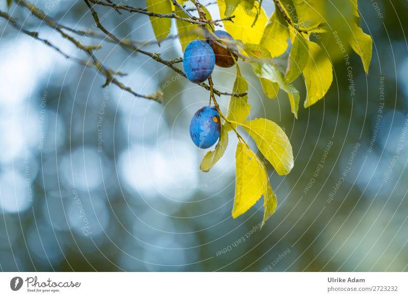Pflaumen am Ast Frucht Gesunde Ernährung Wellness Umwelt Natur Pflanze Sommer Herbst Baum Blatt Pflaumenbaum hängen Gesundheit natürlich blau grün Frieden Klima