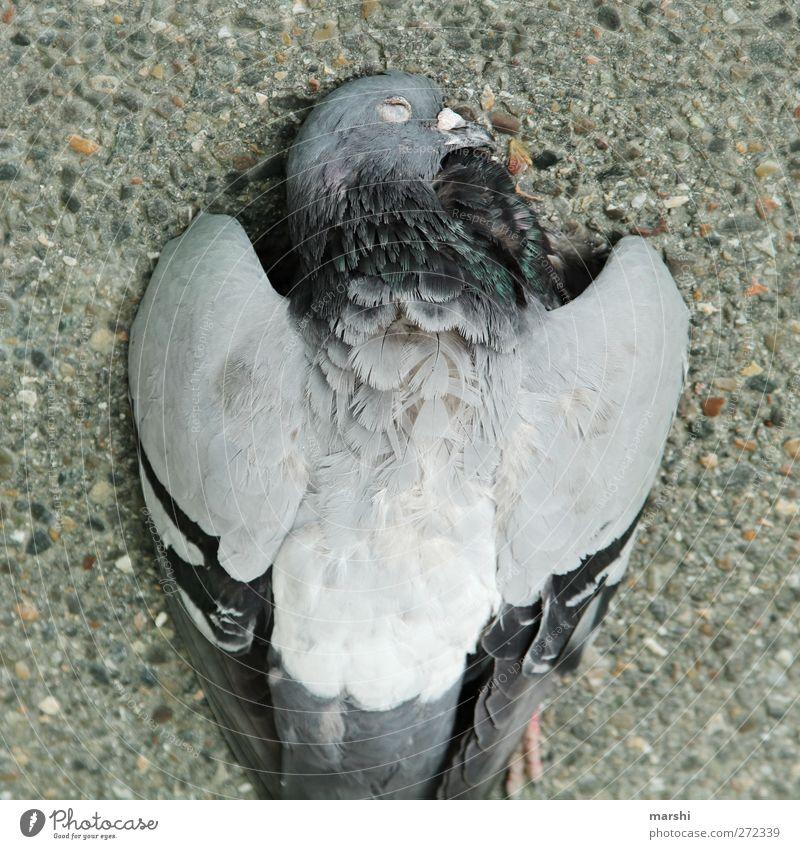 UT Stuttgart | Heidelberg - Die BundesTaube Tier Totes Tier Vogel 1 grau Metallfeder Tod Beton Straße Farbfoto Außenaufnahme