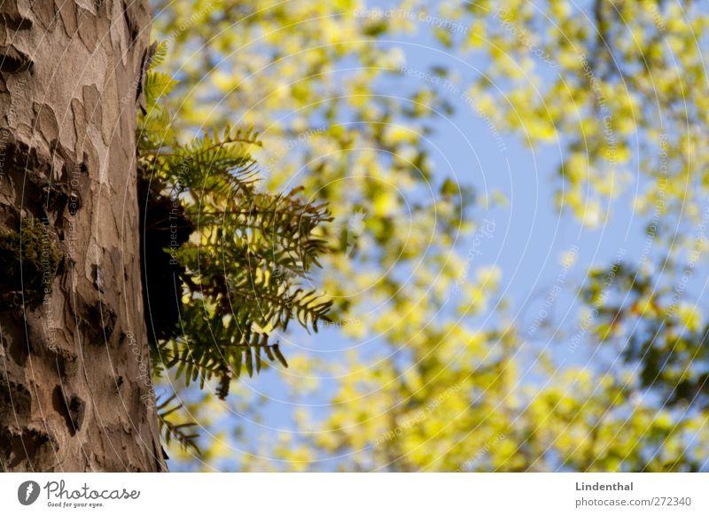 Es wächst Himmel Baum Wachstum Baumrinde quer Blätterdach