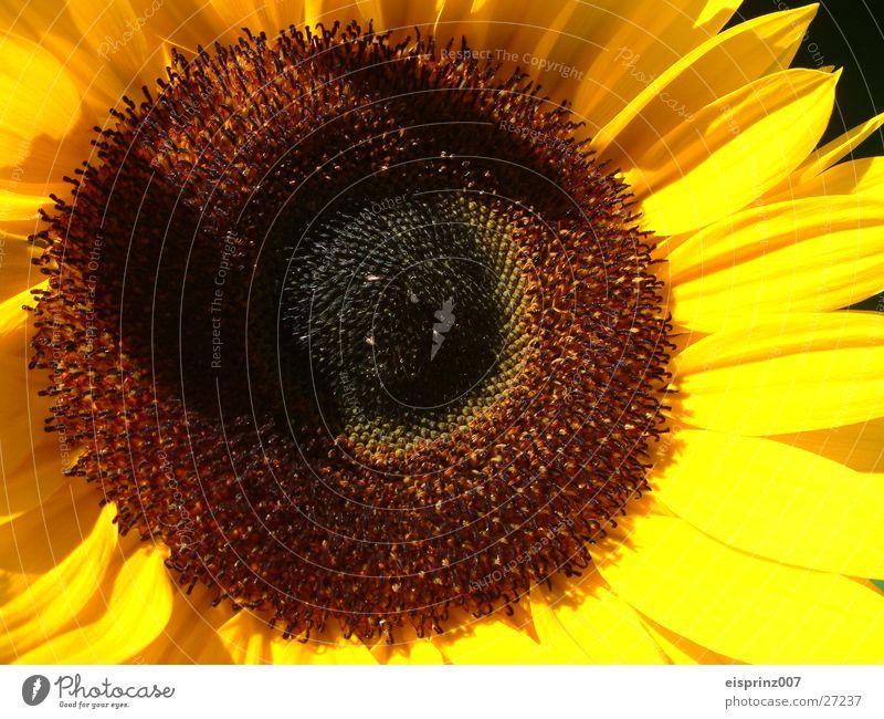 sonneblume Sommer Frühling Biene Sonnenblume Kerne