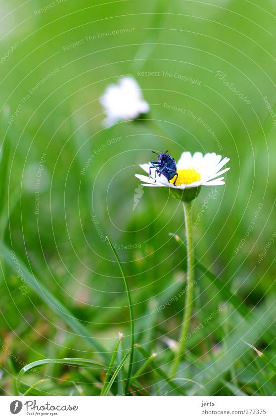 my blue is beautiful Natur blau schön Pflanze Blume Tier Wiese Gras Wildtier natürlich Coolness krabbeln