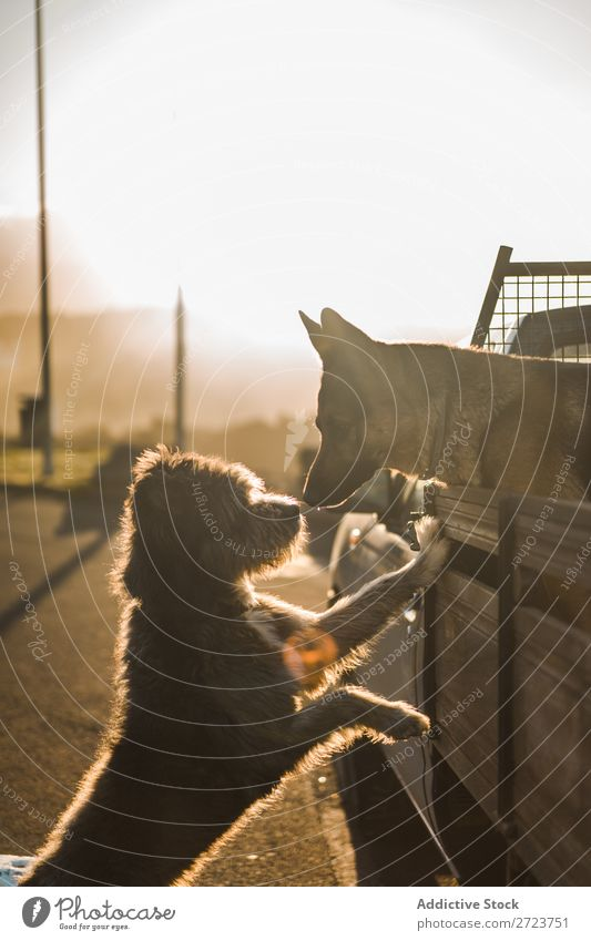 Zwei süße Hunde im Auto PKW sitzen Rüssel Liebe Küssen anlehnen schnüffelnd Pickup Haustier Tier Sommer Fahrzeug niedlich Ferien & Urlaub & Reisen Verkehr groß