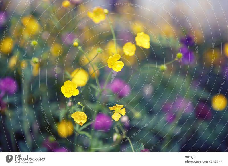 Butterblumen Umwelt Natur Pflanze Frühling Blume Sumpf-Dotterblumen natürlich gelb Farbfoto Außenaufnahme Nahaufnahme Detailaufnahme Makroaufnahme Tag