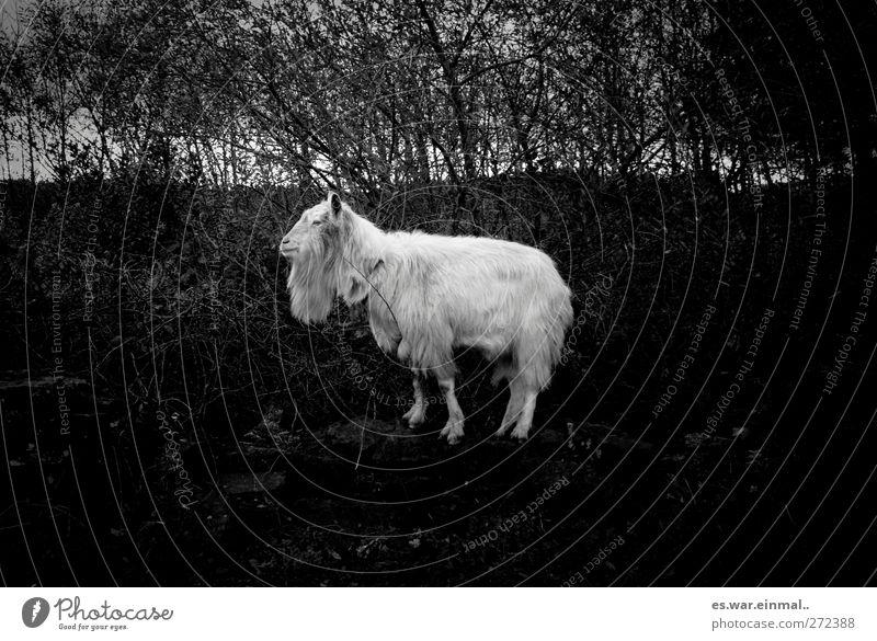 muh macht die kuh Ziegenbock 1 Tier stehen dumm Fell Wildtier Schwarzweißfoto Ziegenbart