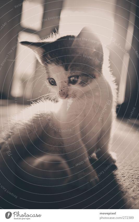 posing cat Tier Haustier Katze Fell 1 Tierjunges Blick sitzen kuschlig niedlich entdecken Katzenbaby Gedeckte Farben Innenaufnahme Textfreiraum unten
