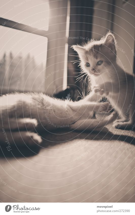 Raufbolde Haustier Katze Fell Pfote 2 Tier Tierjunges Spielen toben kuschlig klein niedlich Katzenbaby Katzenpfote Gedeckte Farben Innenaufnahme