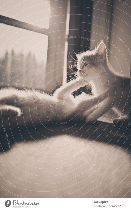 flauschige kätzchen Katze Freude Tier Spielen Tierjunges Fell Haustier kuschlig Umarmen Katzenbaby