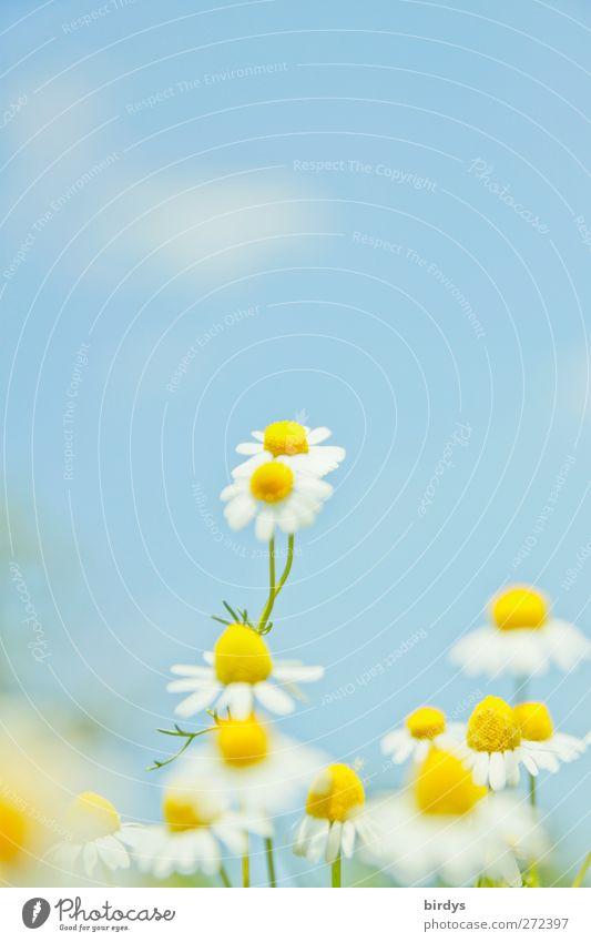 Donna Camilla Natur Pflanze Himmel Wolken Frühling Sommer Schönes Wetter Blume Blüte Kamille Kamillenblüten Blühend Duft leuchten Freundlichkeit hell positiv