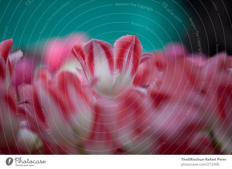 rosarotes blümchen Umwelt Natur Pflanze Frühling Blume Blüte ästhetisch Duft mehrfarbig grün violett türkis weiß Tulpe Fröhlichkeit Erfrischung Farbfoto