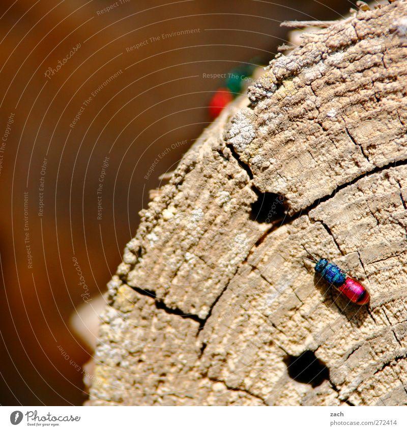 Einchecken im Insektenhotel Pflanze Baum Baumstamm Holz Jahresringe Tier Käfer Flügel Goldwespe 1 krabbeln blau rosa Loch Farbfoto Außenaufnahme Menschenleer