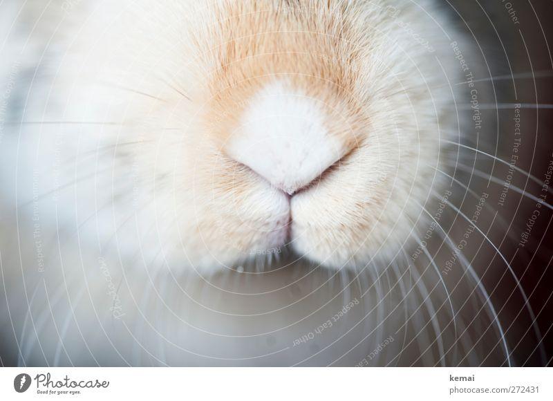 Hase-Nase Tier Haustier Tiergesicht Fell Hase & Kaninchen Zwergkaninchen Barthaare Schnurrhaar 1 hell nah niedlich weich Blesse Farbfoto Gedeckte Farben