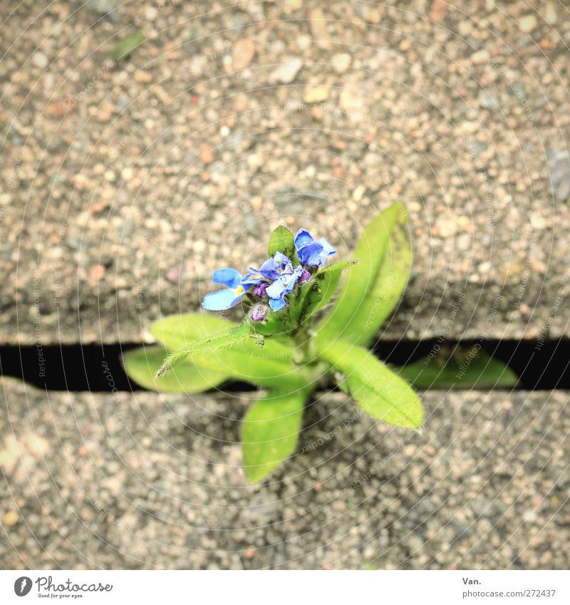 Durchbruch Natur Pflanze Blume Blatt Blüte Stadt Bürgersteig Stein Beton Wachstum blau grün Spalte Farbfoto mehrfarbig Außenaufnahme Nahaufnahme Menschenleer