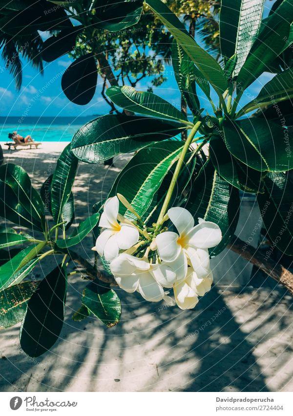 Malediven Insel Plumeria frangipani Baumblume in einem Luxusresort Blume Frangipani Strand Ferien & Urlaub & Reisen Lagune Resort