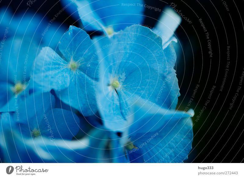 Blaue Hortensie Pflanze Blume Blüte Hortensienblüte Hortensienblätter blau schwarz Treue Farbfoto Nahaufnahme Detailaufnahme Makroaufnahme Unschärfe