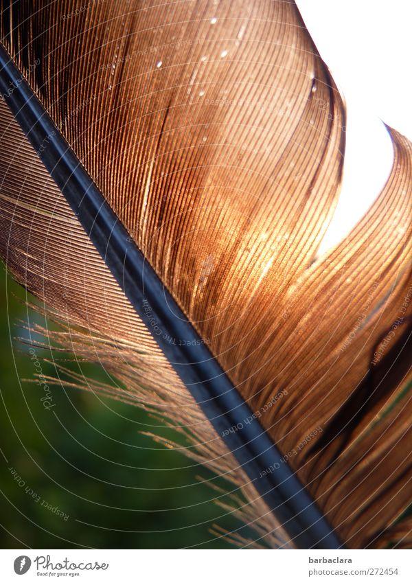 Ich war ganz oben Umwelt Natur Sonne Vogel Feder fallen fliegen leuchten ästhetisch frei glänzend braun gold Bewegung Freiheit Leichtigkeit Vergänglichkeit