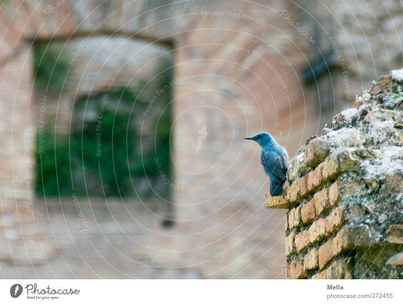 Heute ist die Merle blau Natur Tier Umwelt Wand klein Mauer Vogel Wildtier sitzen natürlich kaputt niedlich Vergänglichkeit Neugier Backstein Verfall