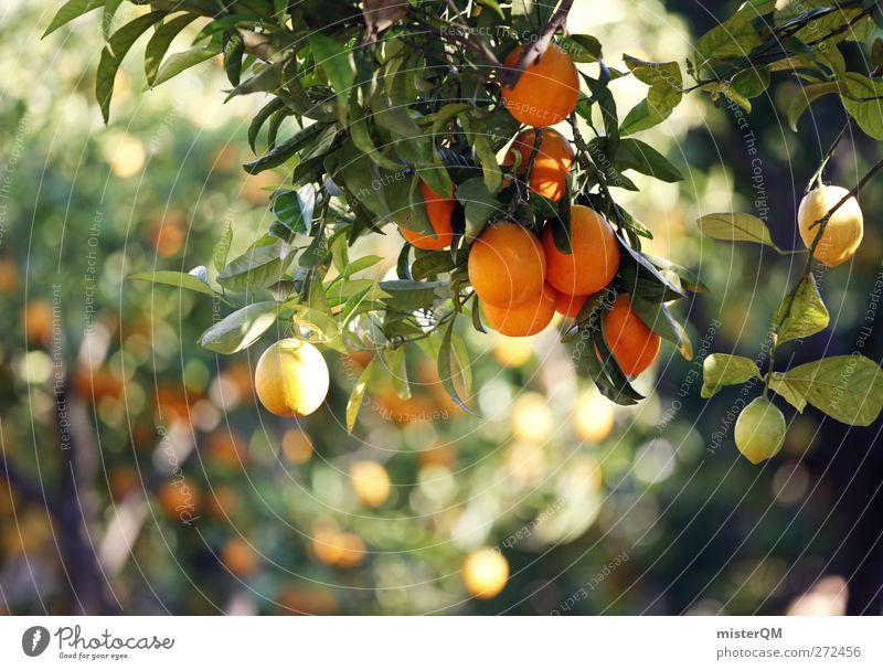 Orange Garden II Natur Pflanze grün Baum Sonne Gesundheit Lebensmittel orange Wachstum Idylle ästhetisch Klima Schönes Wetter Spanien Bioprodukte