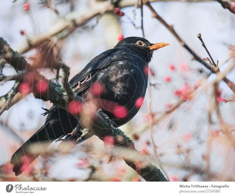 Amsel im Baum Himmel Natur blau rot Tier schwarz Umwelt Auge natürlich orange Vogel Frucht glänzend Wildtier sitzen