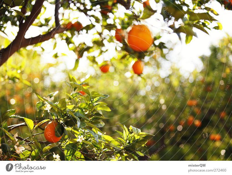 Orange Garden IV Natur Pflanze grün Baum Landschaft Umwelt Gesundheit Frucht orange Zufriedenheit Wachstum ästhetisch Spanien Bioprodukte hängen