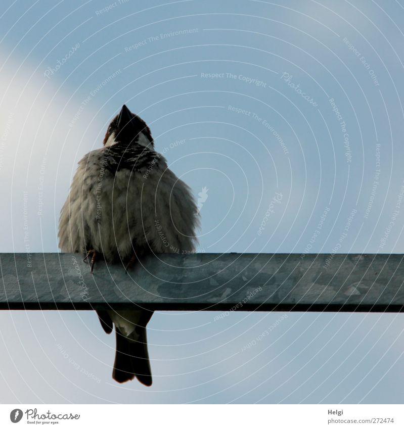 Spatzl... Himmel Frühling Schönes Wetter Tier Wildtier Vogel 1 Metallstange sitzen warten ästhetisch authentisch klein natürlich niedlich blau braun grau