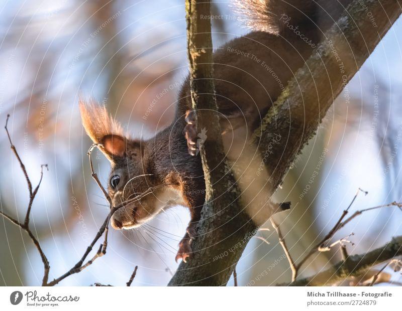 Eichhörnchen im Baum Umwelt Natur Tier Himmel Sonnenlicht Schönes Wetter Ast Wildtier Tiergesicht Fell Krallen Pfote Ohr Nase Auge Maul 1 krabbeln leuchten